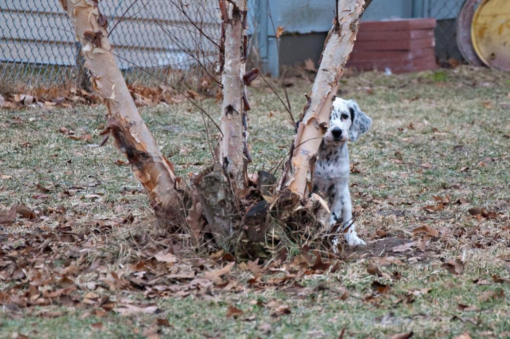 Name:  Playing hide-and-seek behind the river birch 1-15-19.jpg Views: 51 Size:  159.6 KB