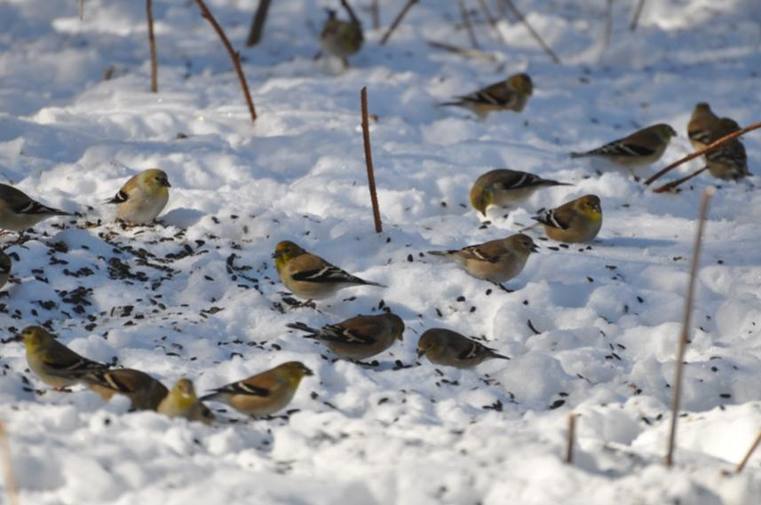 Name:  goldfinch flock 2-14-10.jpg