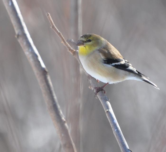 Name:  goldfinch 2-14-10.jpg