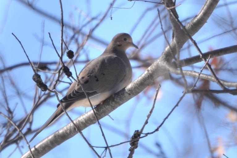 Name:  mourning dove 2-14-10.jpg