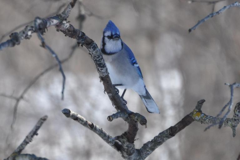 Name:  blue jay 2-14-10.jpg