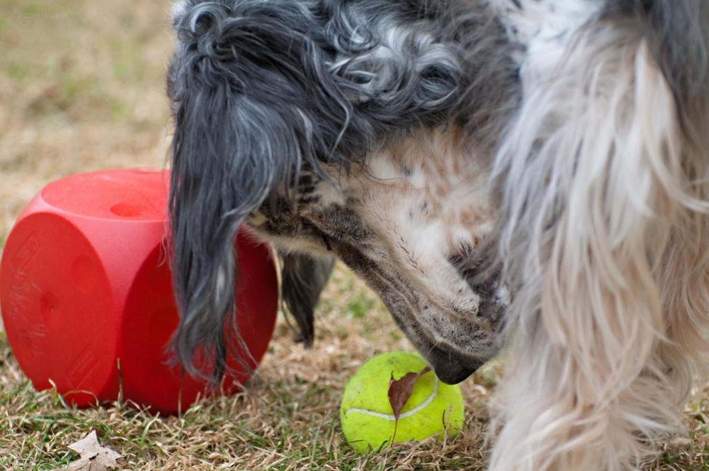 Name:  Cass trying to decide between the ball and the Kibble Kube 11-28-17.jpg