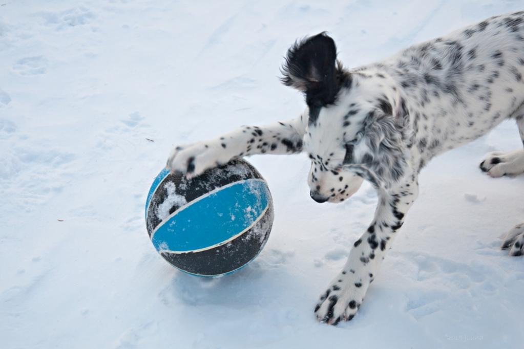 Name:  Lili playing with her black-and-blue ball 1-29-19 A.jpg Views: 36 Size:  54.9 KB