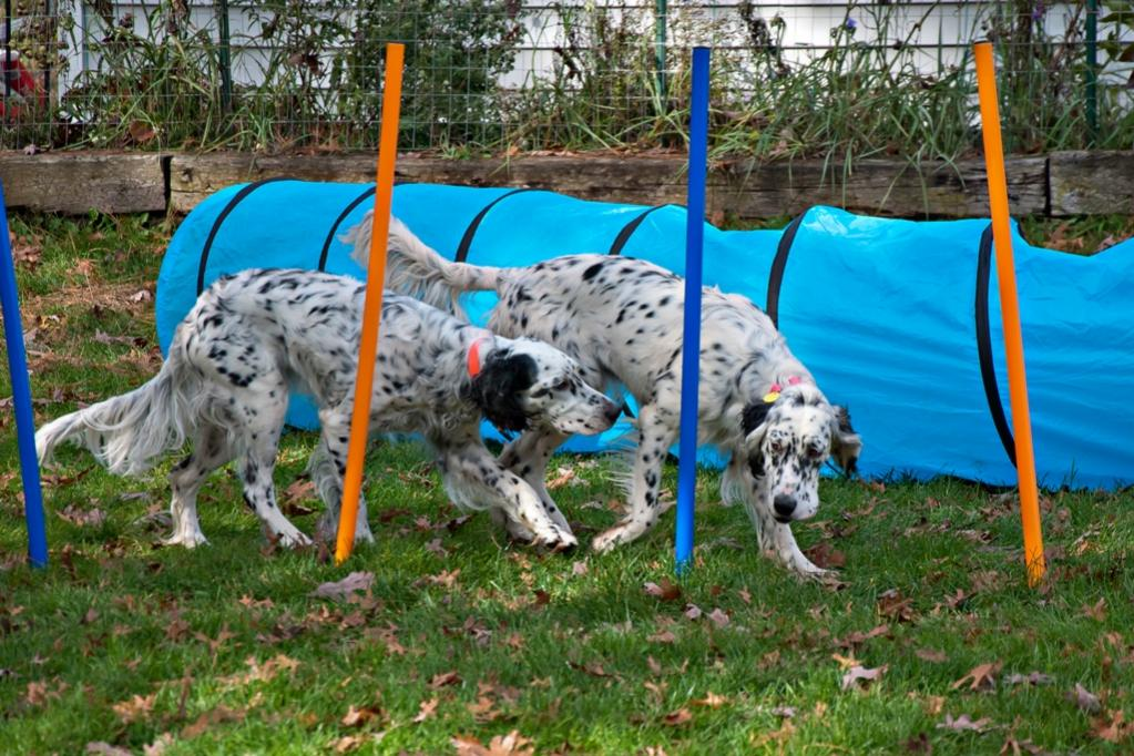Name:  Lili and Colbi checking out the agility course 10-23-19 B.jpg