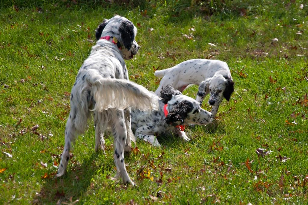 Name:  Colbi and Loon double-teaming Lili 10-23-19 B.jpg Views: 269 Size:  163.1 KB