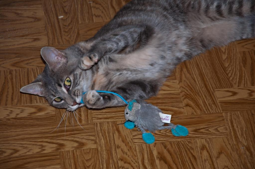 Name:  Dusty with a bouncy mouse 9-1-19.jpg Views: 310 Size:  87.4 KB