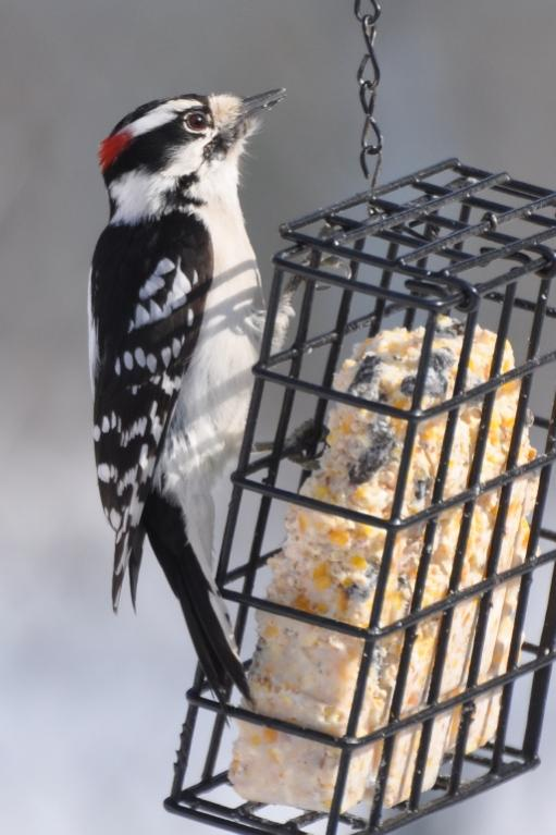 Name:  Male downy at suet 2-21-10.jpg Views: 87 Size:  52.7 KB