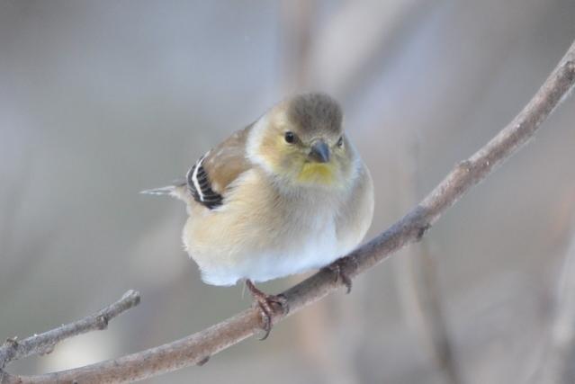 Name:  Goldfinch 2-23-10.jpg Views: 87 Size:  17.4 KB
