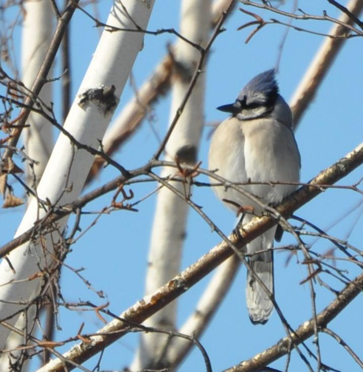 Name:  Blue jay in birch 2-25-10.jpg