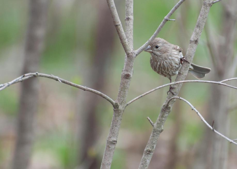 Name:  House finch 5-12-11 A.jpg