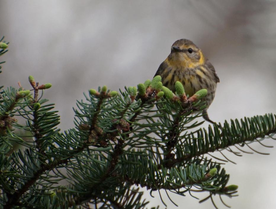 Name:  Cape May warbler 5-14-11 B.jpg
