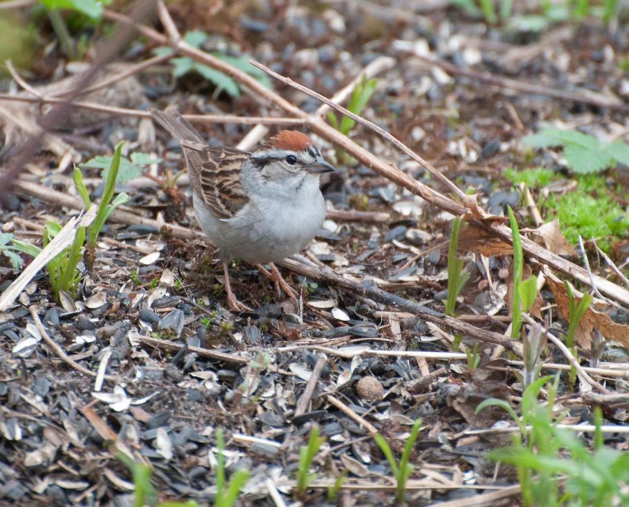 Name:  Chipping sparrow 5-12-11 C.jpg