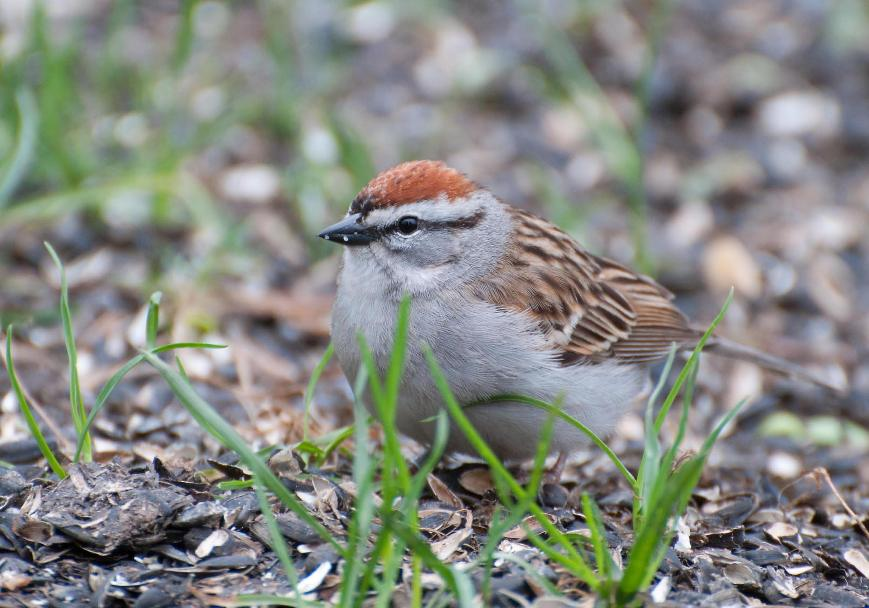 Name:  Chipping sparrow 5-14-11 A.jpg