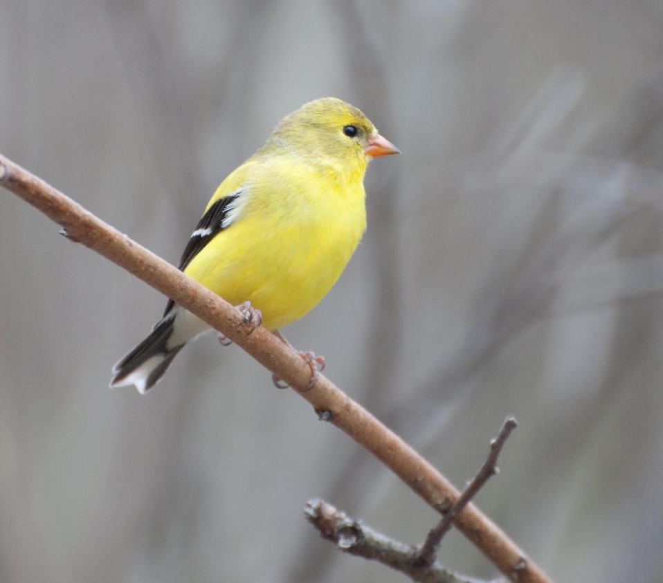 Name:  American goldfinch 5-12-11 E.jpg