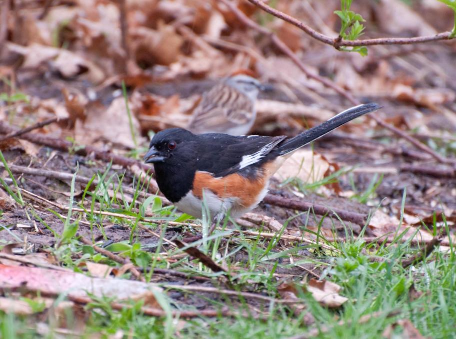 Name:  Eastern towhee 5-14-11 B.jpg