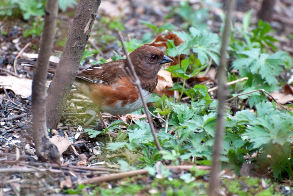 Name:  Eastern towhee 5-14-11 A.jpg