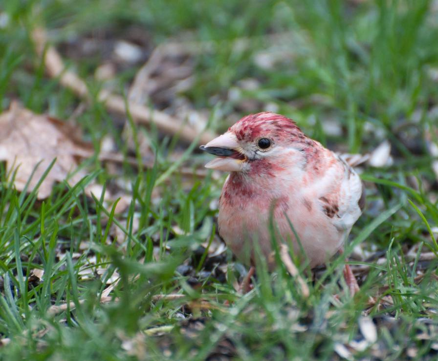 Name:  Leucistic purple finch 5-14-11 E.jpg