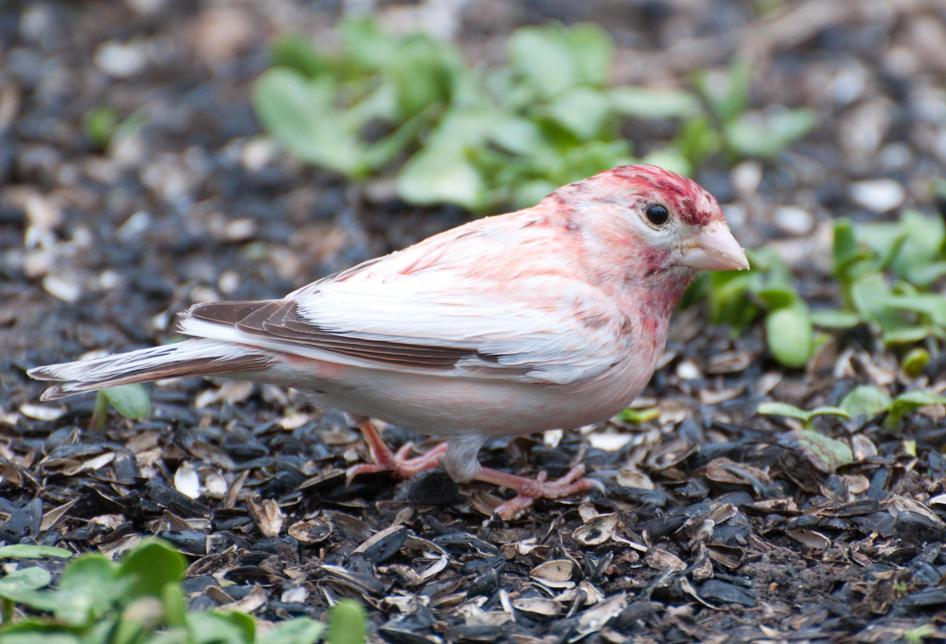 Name:  Leucistic purple finch 5-14-11 G.jpg