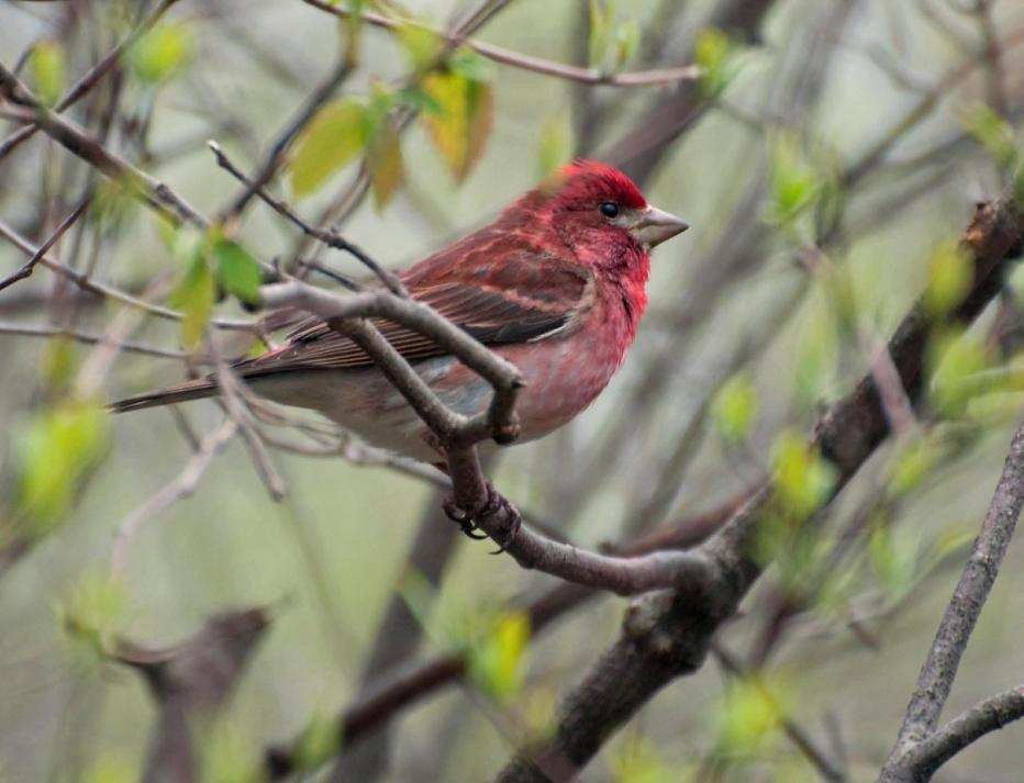 Name:  Purple finch 5-14-11 A.jpg