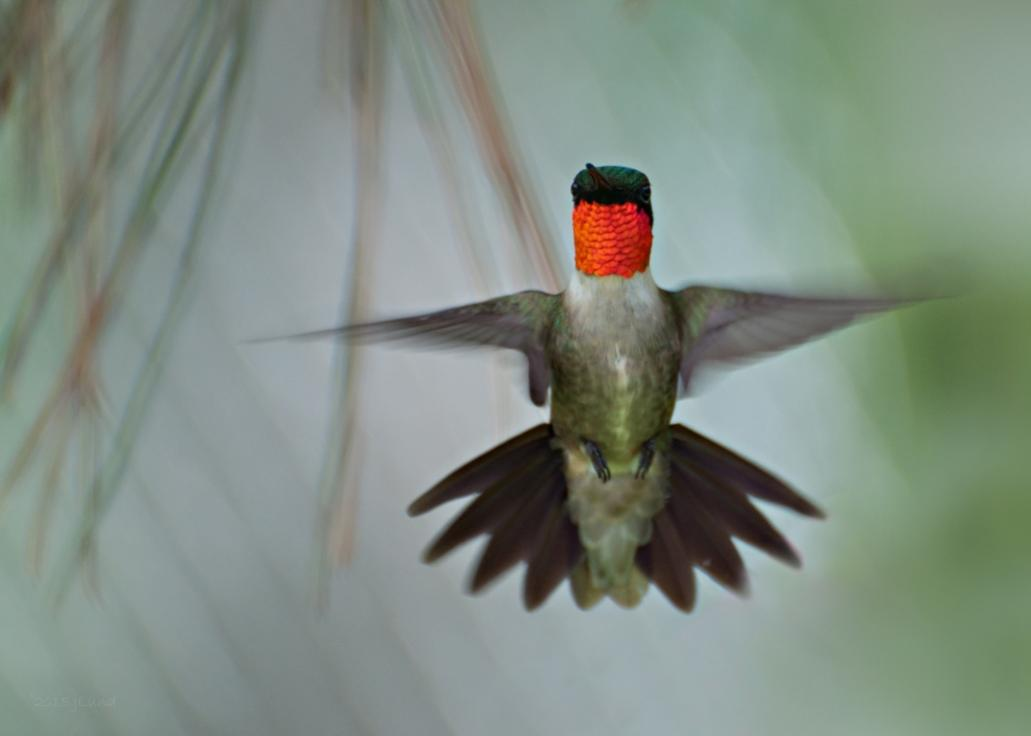 Name:  Ruby-throated hummingbird, morning male 6-16-15 D.jpg