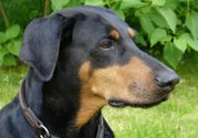 Name:  doberman.jpg