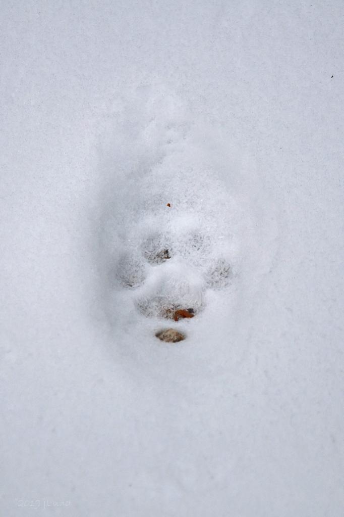 Name:  Bobcat print along the easement 11-8-19.jpg Views: 44 Size:  47.3 KB