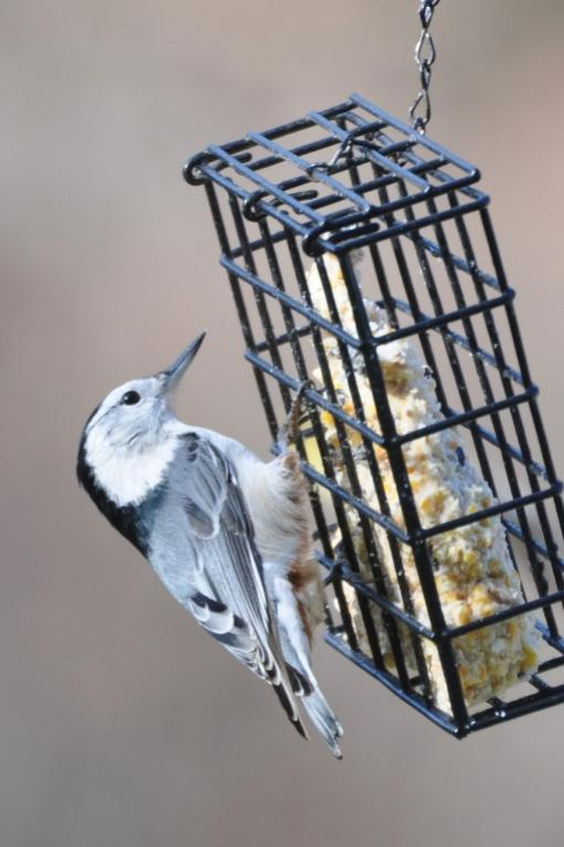 Name:  wh-br nuthatch.jpg Views: 99 Size:  46.0 KB