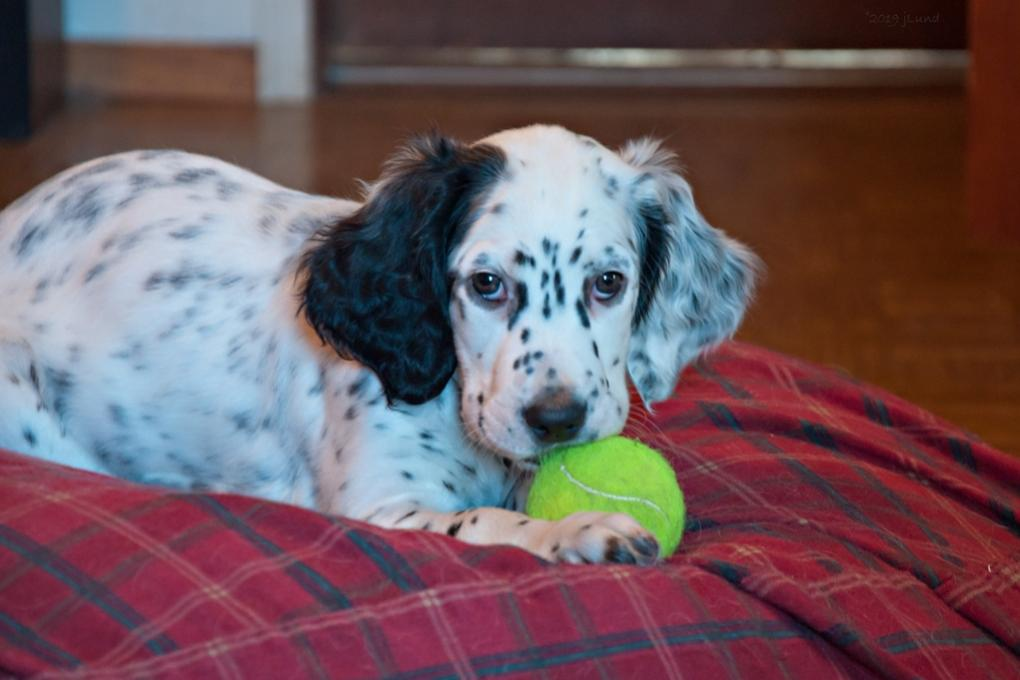 Name:  Lili on the Orvis nest with the tennis ball 1-19-19 B.jpg