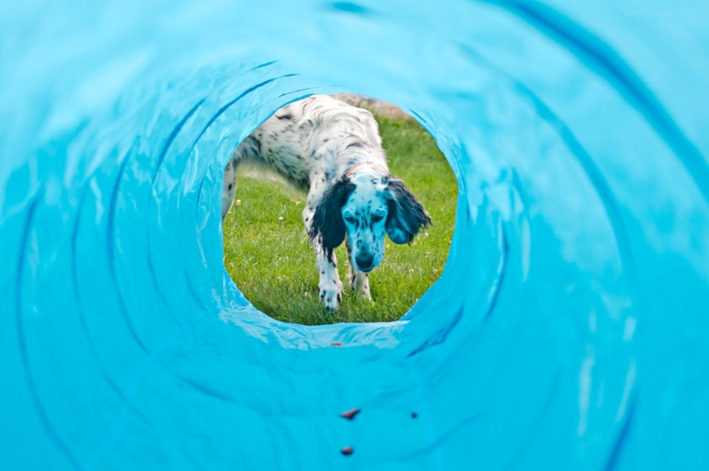 Name:  Lili contemplating the treats in the tunnel 8-12-19.jpg Views: 22 Size:  53.9 KB