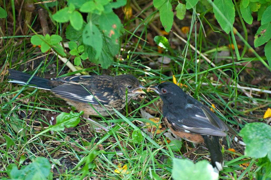 Name:  Eastern towhee, dad feeding his young son 8-23-17.jpg