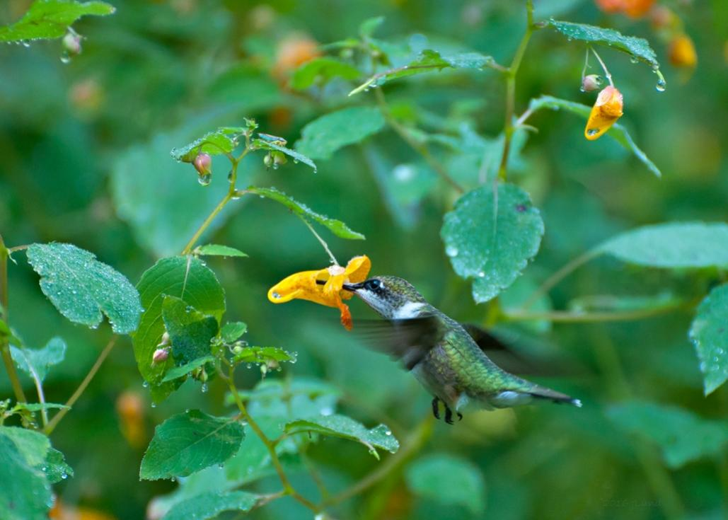 Name:  Ruby-throated hummingbird at jewelweed 8-19-17 A.jpg