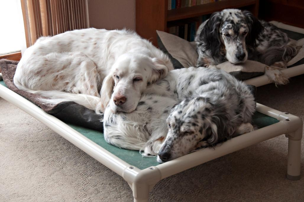 Name:  Ember and Ridge cuddling on the kuranda bed, with Cass behind 1-31-17.jpg