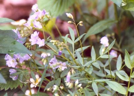 Name:  Hummingbird garden - mystery flower 6-5-08.jpg Views: 209 Size:  28.6 KB