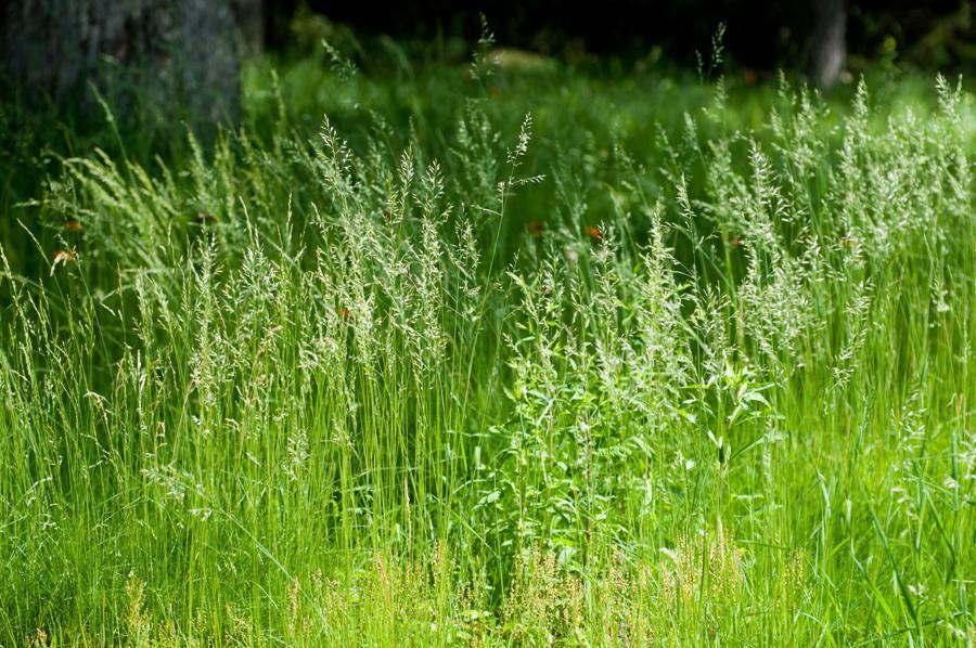 Name:  Front lawn 6-17-11 H.jpg Views: 529 Size:  146.4 KB