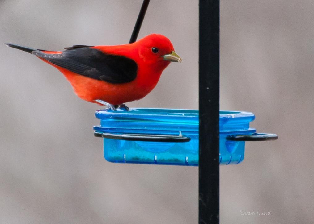 Name:  Scarlet tanager, male 5-8-14 H.jpg Views: 164 Size:  60.6 KB