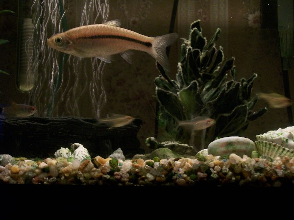 Name:  Danio Fish.jpg Views: 6338 Size:  67.7 KB