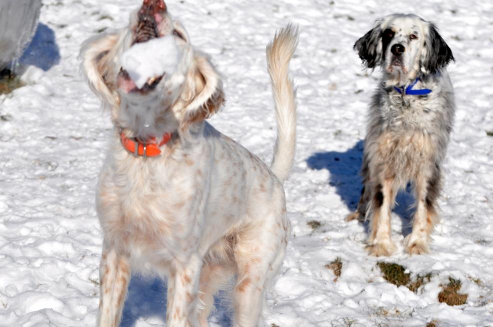 Name:  Ember about to catch a snowball 12-8-10 B.jpg Views: 42 Size:  77.0 KB