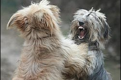 Dogs – Canine Rivalry – Dog Fighting
