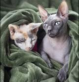 Hairless Cats – Pet tip 145