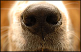 Dog Noses – facts and myths – Pet tip 115