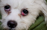Cherry eye in dogs – Pet tip 122