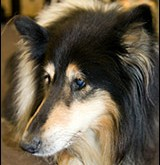 Dogs and Glaucoma