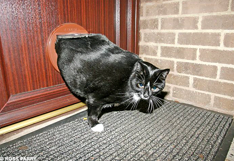 Two stone fat cat put on strict diet after getting wedged in his flap